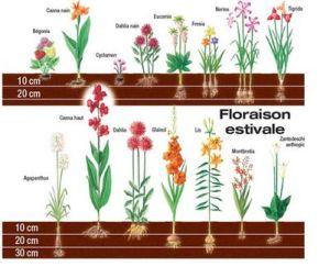 profondeur-plantation-bulbe-floraison-estivale
